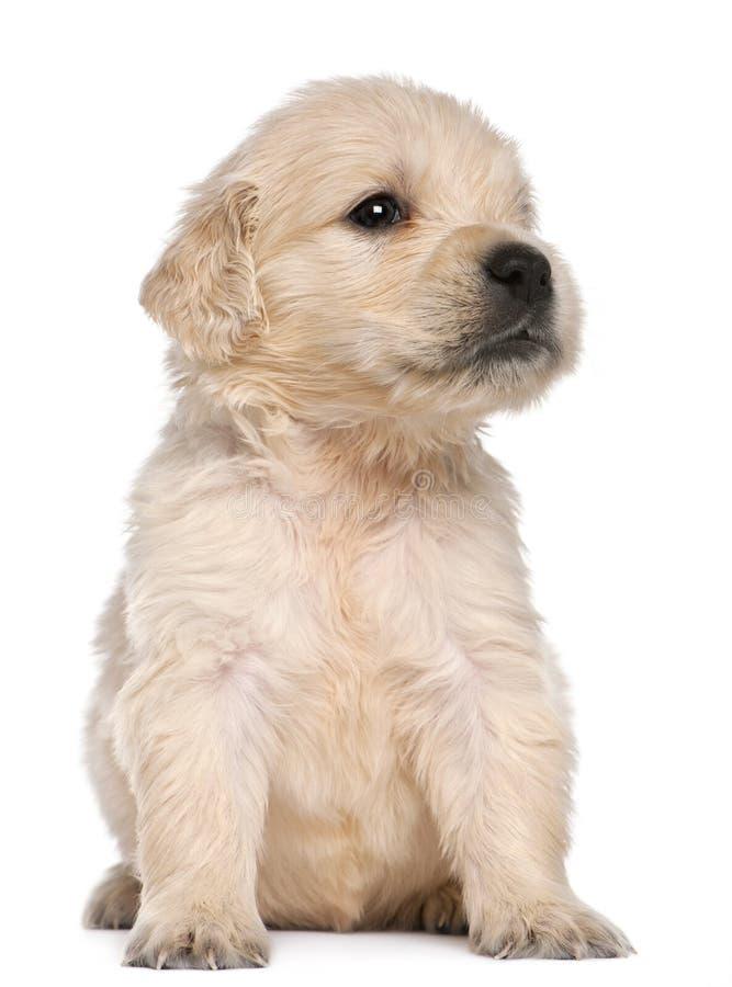 4个金黄老小狗猎犬星期 免版税图库摄影