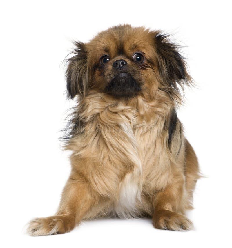4前老西班牙猎狗西藏空白年 免版税库存照片