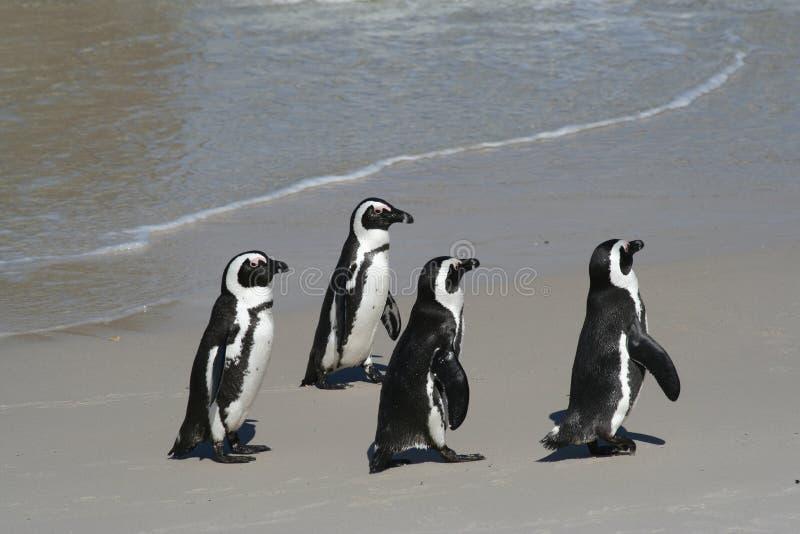 4只企鹅 库存图片
