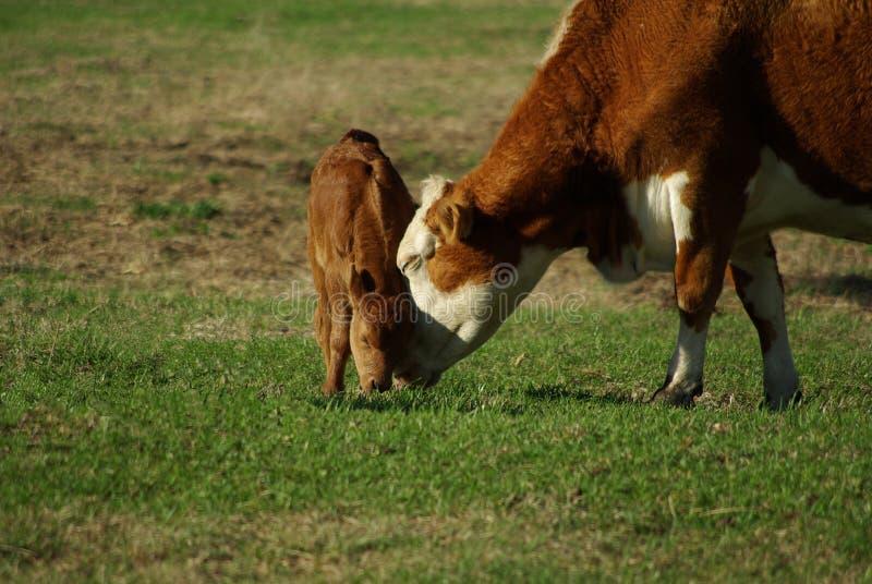 4头小牛母牛牧场地 免版税库存图片