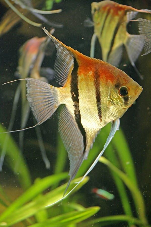 4条鱼scalare 免版税库存照片