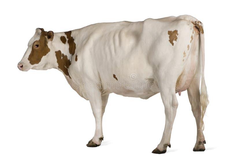 4母牛黑白花牛老常设年 库存照片