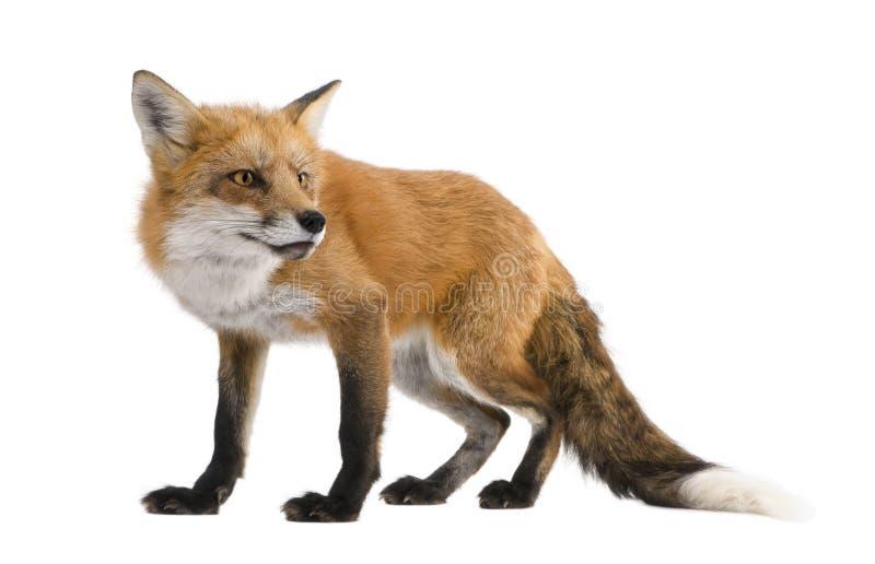 4狐狸红色狐狸年 免版税库存图片