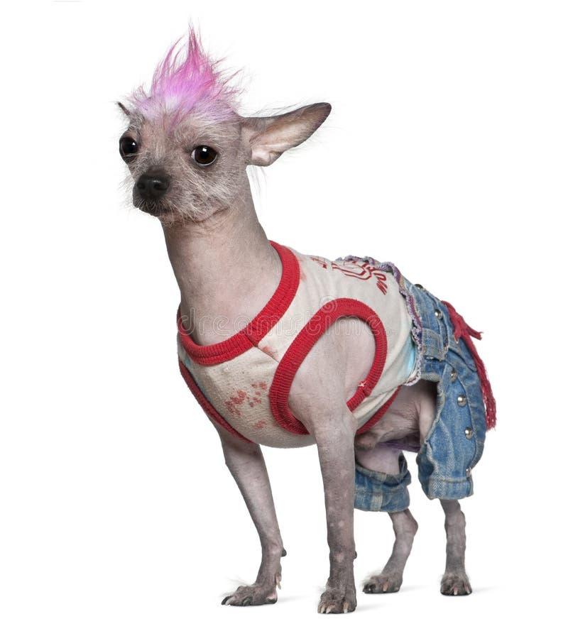 4狗穿戴了无毛的墨西哥老低劣的岁月 库存照片
