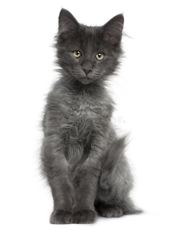 4猫森林小猫月挪威老 库存图片