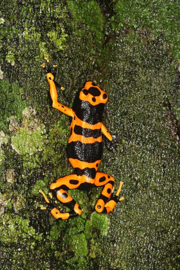 4青蛙朝向毒物黄色 免版税库存图片