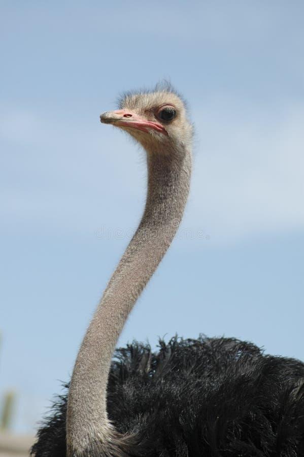 4驼鸟 免版税库存图片