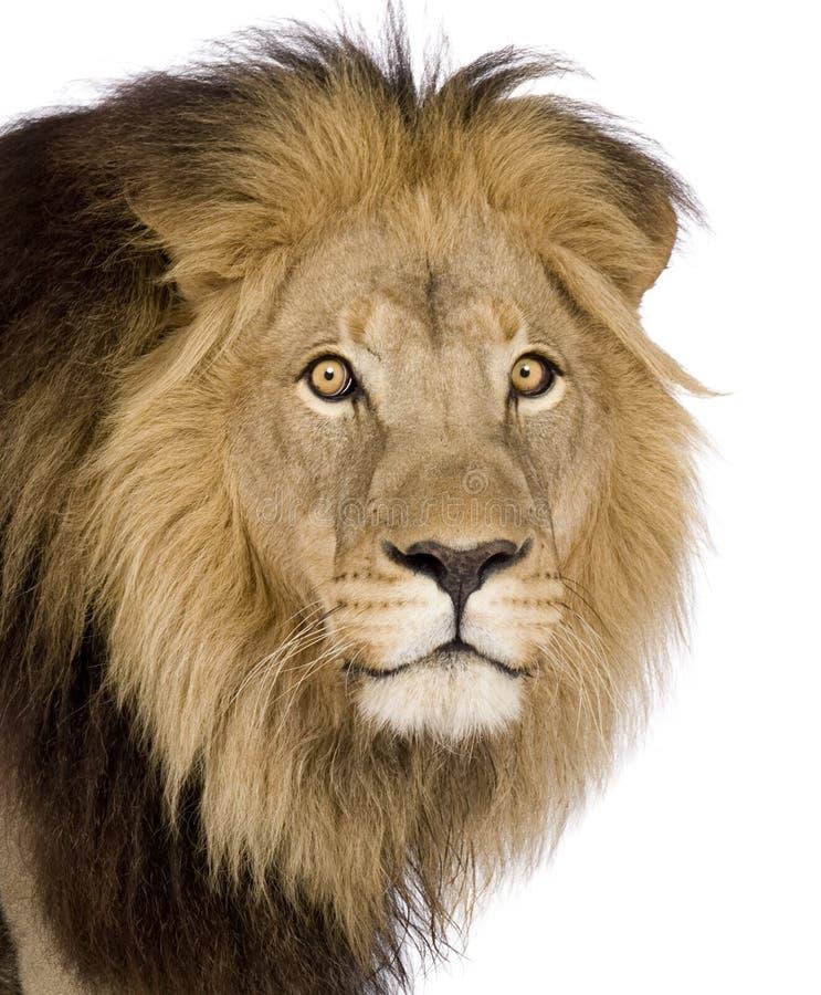 4 близкий половинный головной львев p s вверх по летам стоковое фото