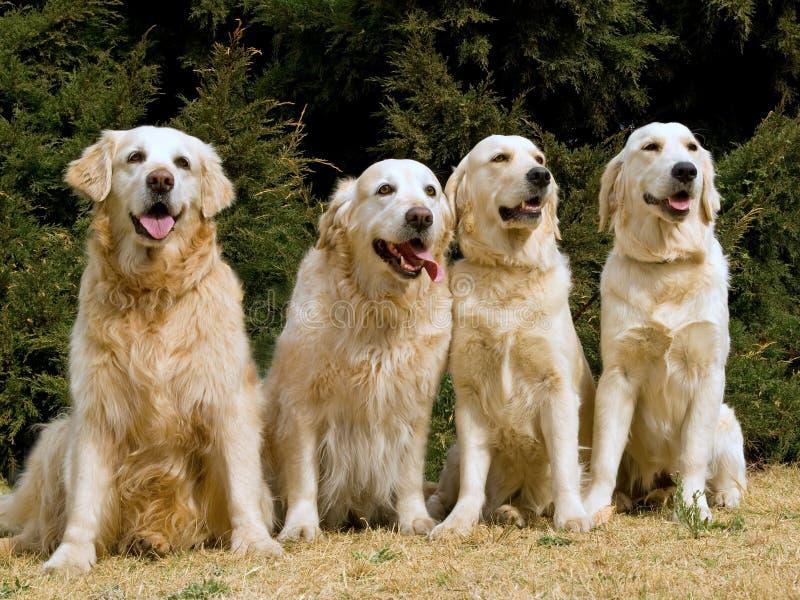 4 красивейших золотистых retrievers стоковые фото