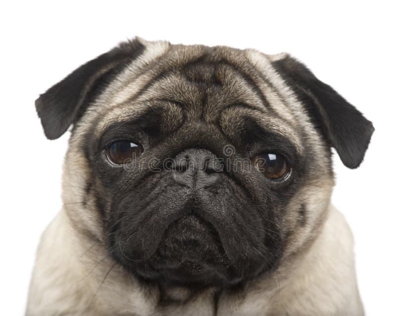 4 лет pug стоковое изображение rf