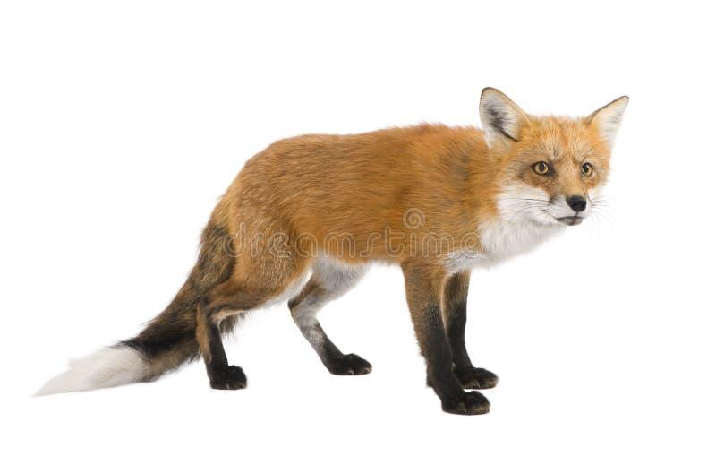 Download 4 лет Vulpes лисицы красных Стоковое Изображение - изображение насчитывающей лисица, собака: 6855117