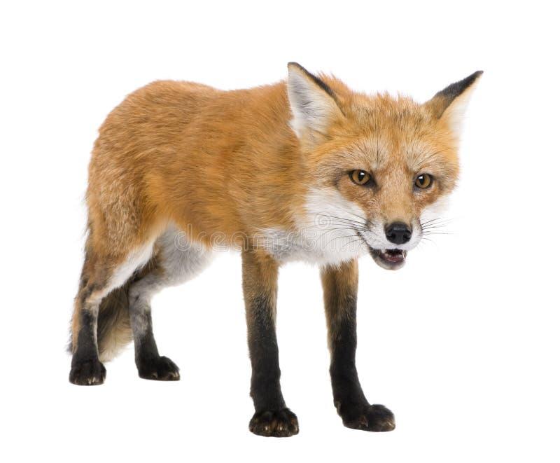 4 лет vulpes лисицы красных стоковое изображение rf