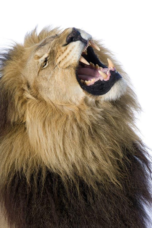 4 половинных лет panthera льва leo стоковая фотография rf