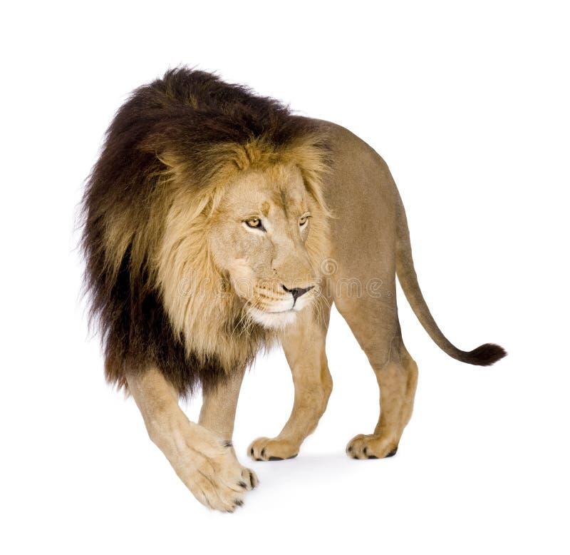 Download 4 половинных лет Panthera льва Leo Стоковое Фото - изображение насчитывающей мясоед, изолировано: 6851376