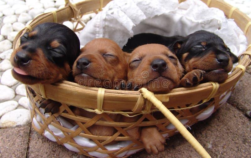4 щенят pinscher стоковые фото