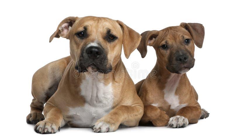 4 amerikanska månadstaffordshire terriers två royaltyfri foto