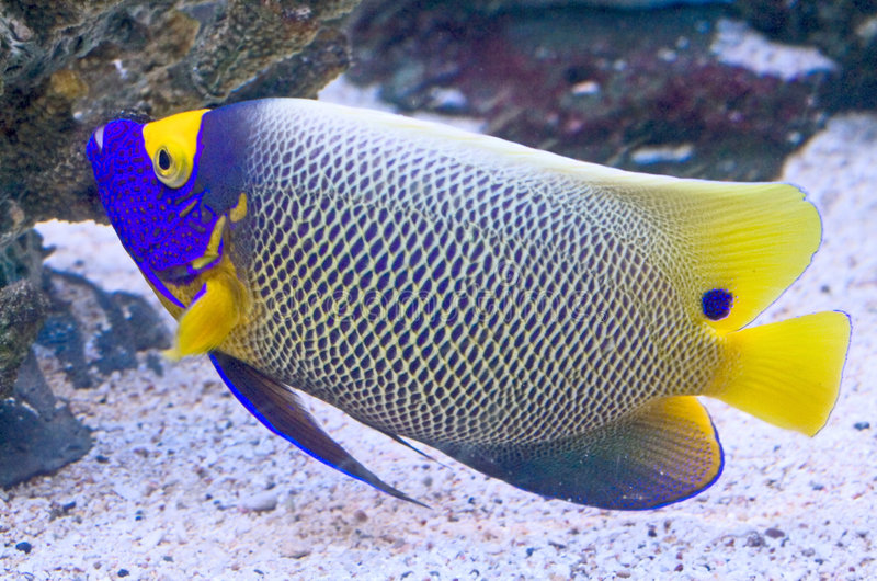 4 angelfish blueface obraz stock
