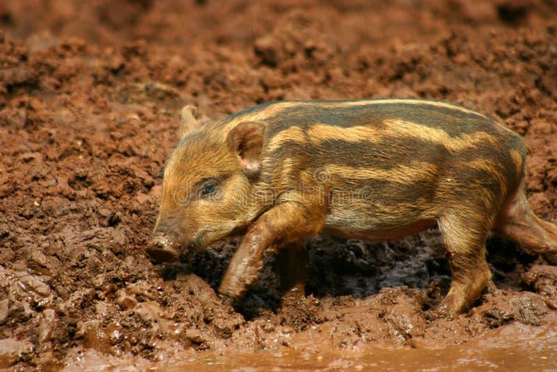 4 błota świni dziecka zdjęcie royalty free