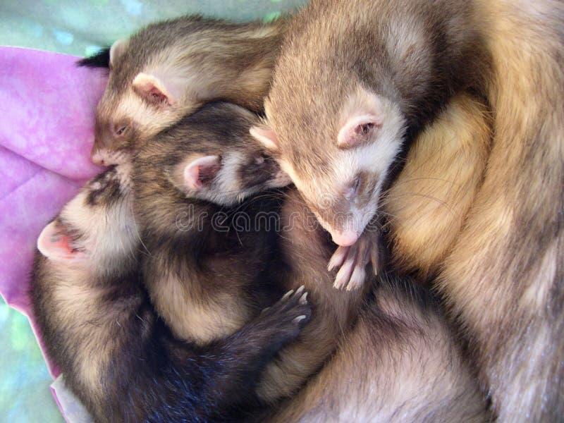 4 Beautiful Sleeping Ferrets royalty free stock photography