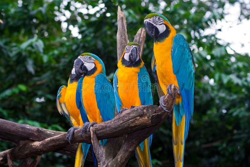 4 Blue-and-Yellow Macaw Parrots Royalty Free Stock Images