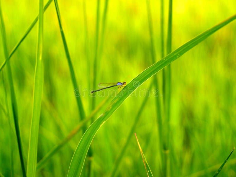 4 charakter polowe ryżu obraz stock