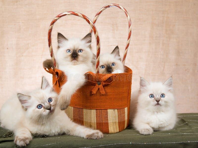 4 chatons de Ragdoll dans le sac à main brun photos stock