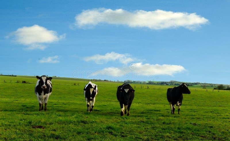 4 cows. Walking trough a green field stock image