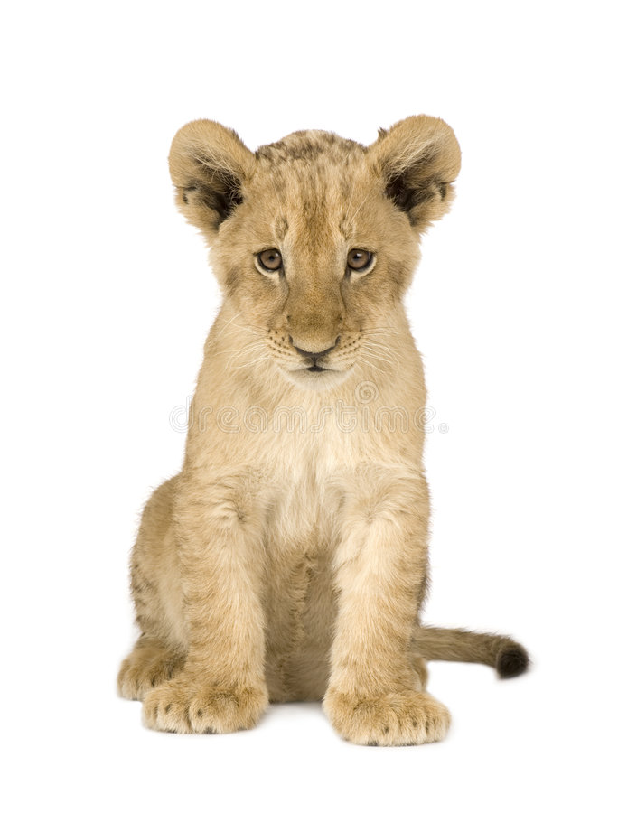 4 cub μήνες λιονταριών στοκ εικόνα