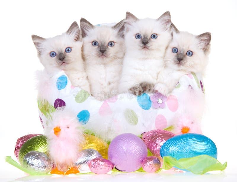 4 cute Easter Ragdoll kittens stock image