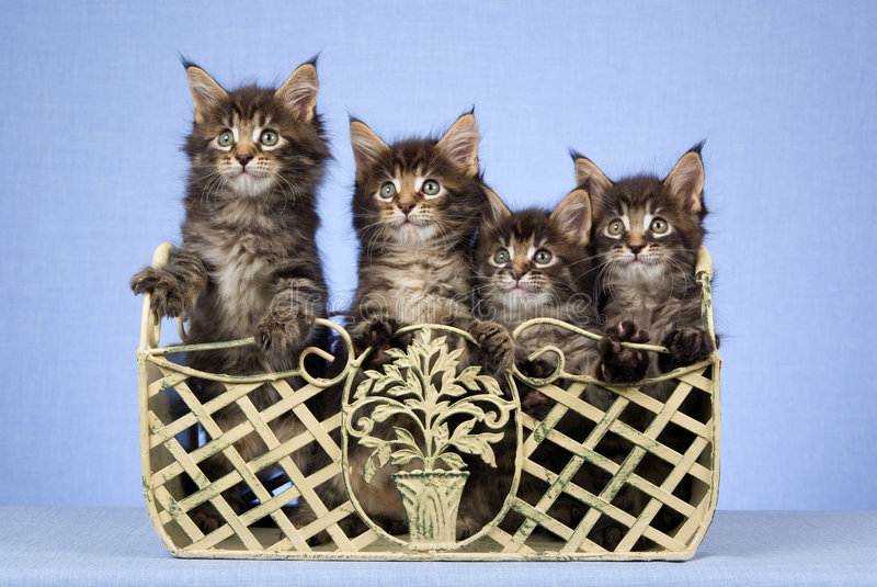 4 Cute Maine Coon kittens sitting in container