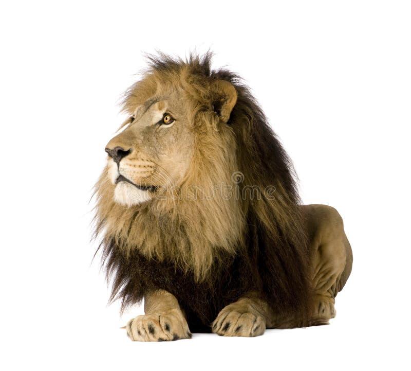 4 demi d'ans de panthera de lion de Lion image stock