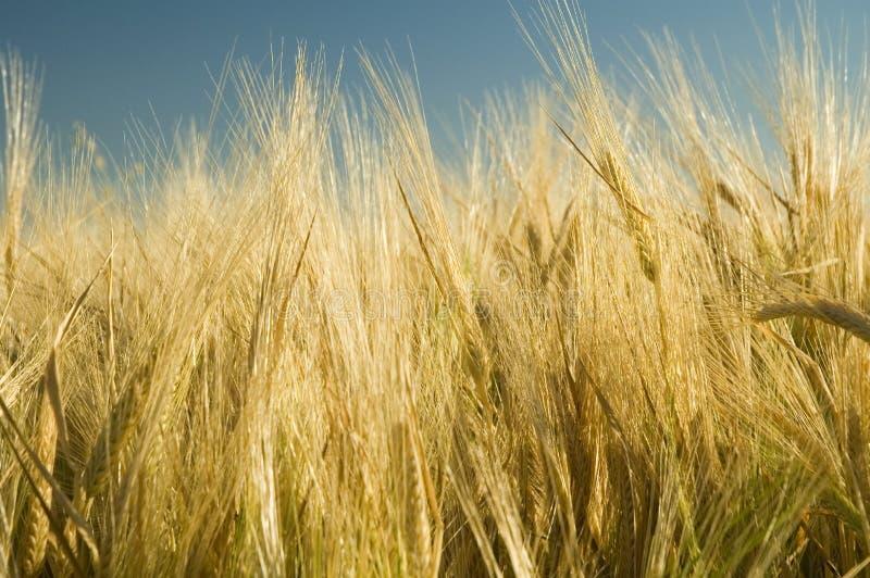 4 dojrzała pszenica złota zdjęcie stock