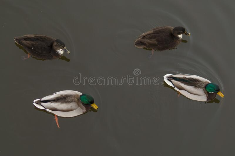 4 Ducks On The Water Free Public Domain Cc0 Image