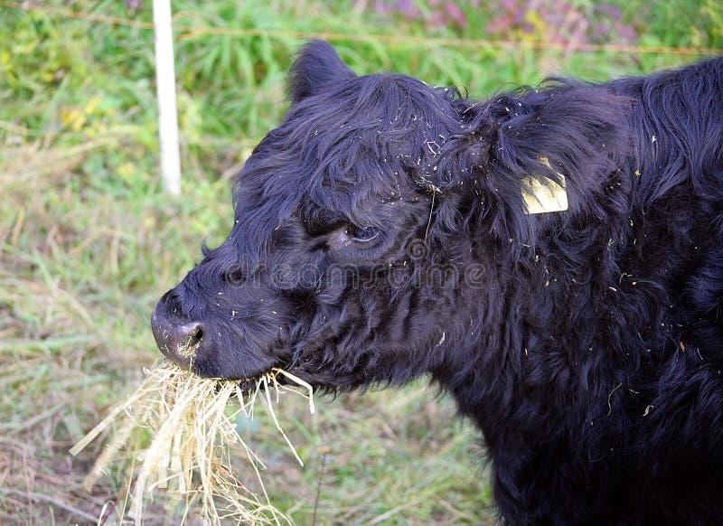 4 Galloway krowa obraz stock