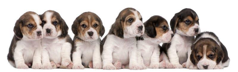 4 gammala valpar för beaglegrupp som sitter veckor royaltyfri foto