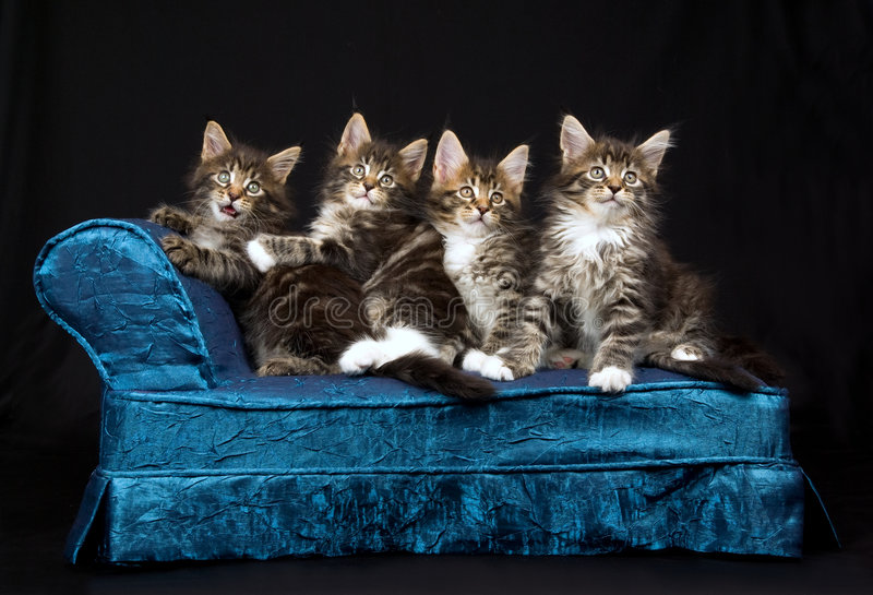 4 gatinhos bonitos do Coon de Maine no chaise azul imagem de stock