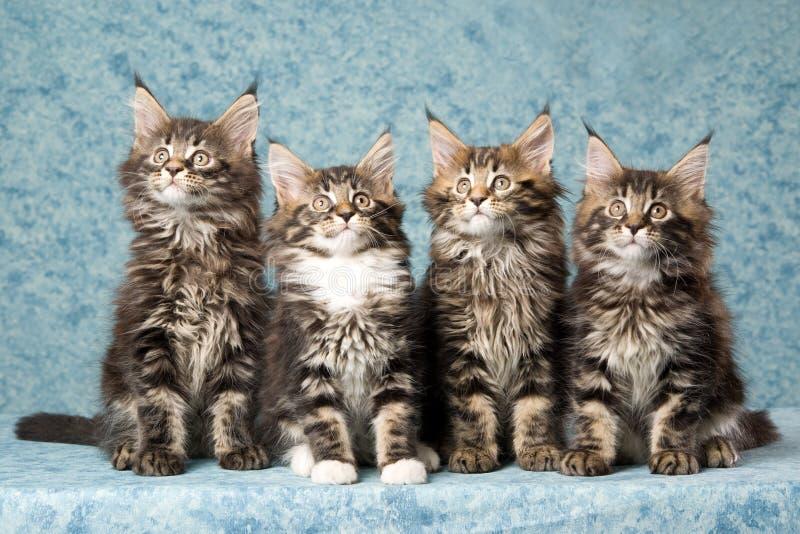 4 gatinhos do Coon de Maine no fundo azul foto de stock