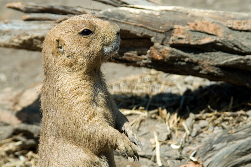 4 groundhog 免版税库存照片