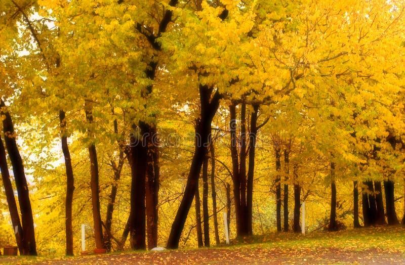 4 kolorów wiązu grove łagodzenie upadku korka fotografia royalty free