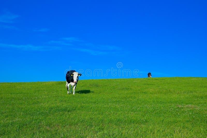 4 krów pole zdjęcia stock
