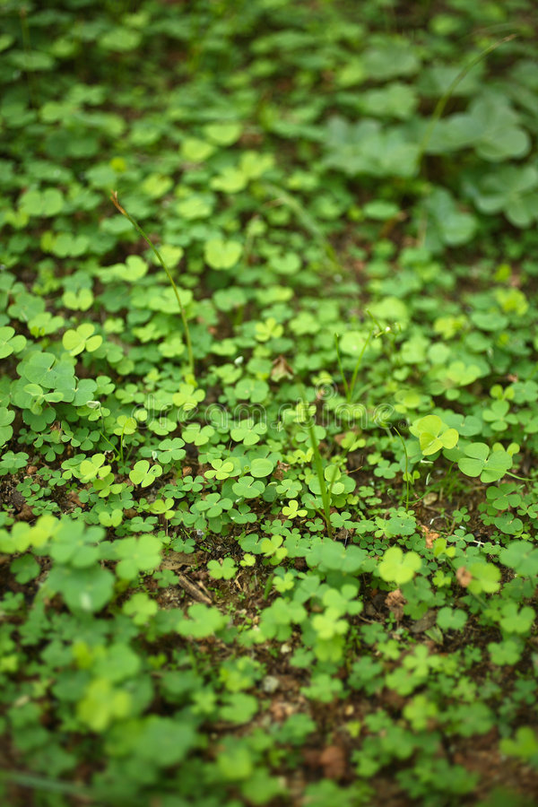 4 Leaf-Clover Forest Stock Photography