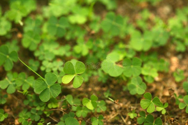 Download 4 Leaf-Clover Forest stock photo. Image of leaf, plant - 5219326