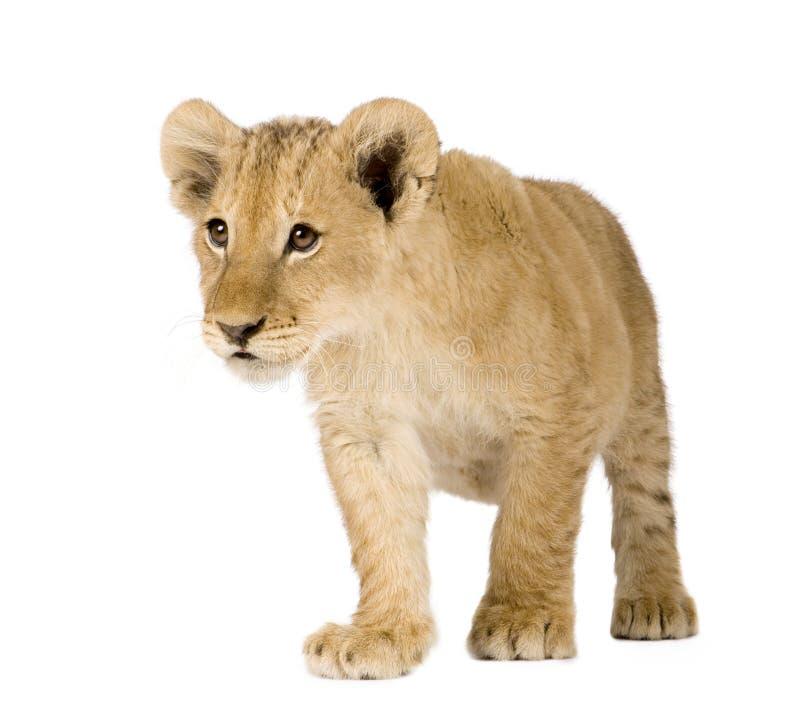 4 lisiątka lwa miesiąc obraz stock