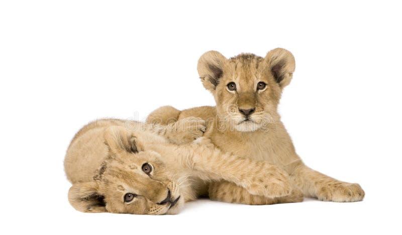 4 lwa młode miesiące obraz stock