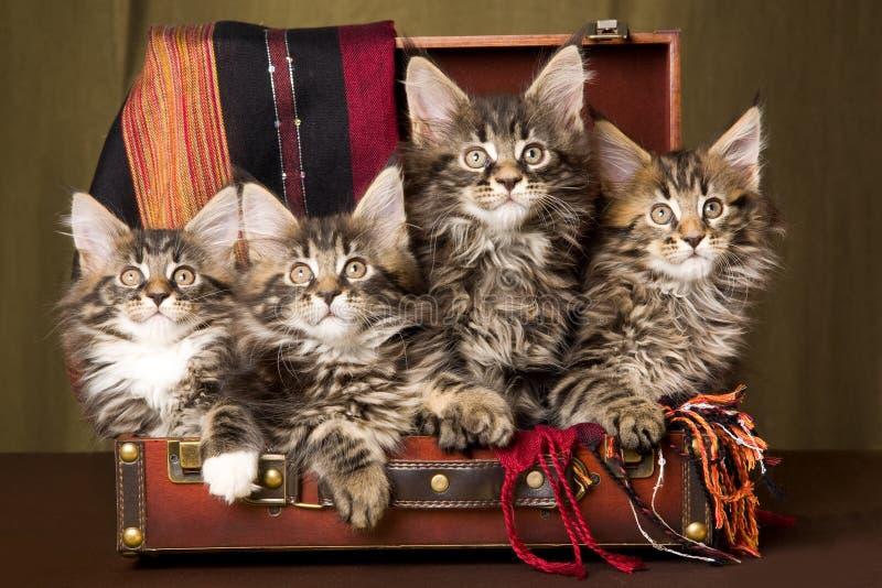 4 Maine-Waschbärkätzchen innerhalb des braunen Koffers stockbilder