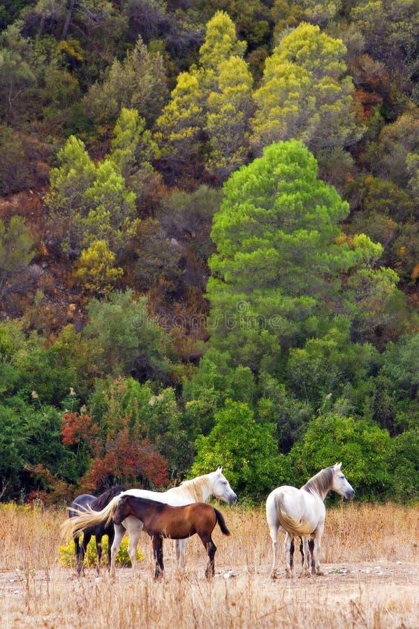 4 paarden Andalucian op een gebied op de Costa del Sol stock foto's