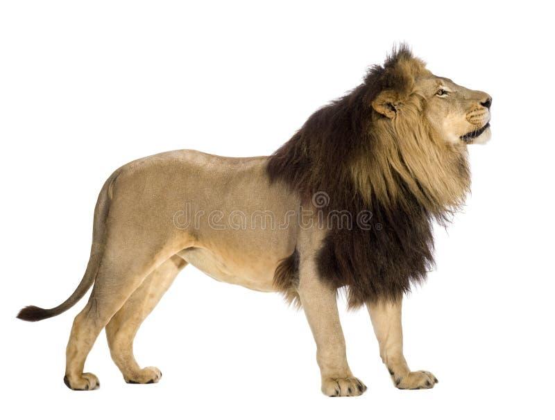 4 przyrodnich Leo lwa panthera rok obrazy stock