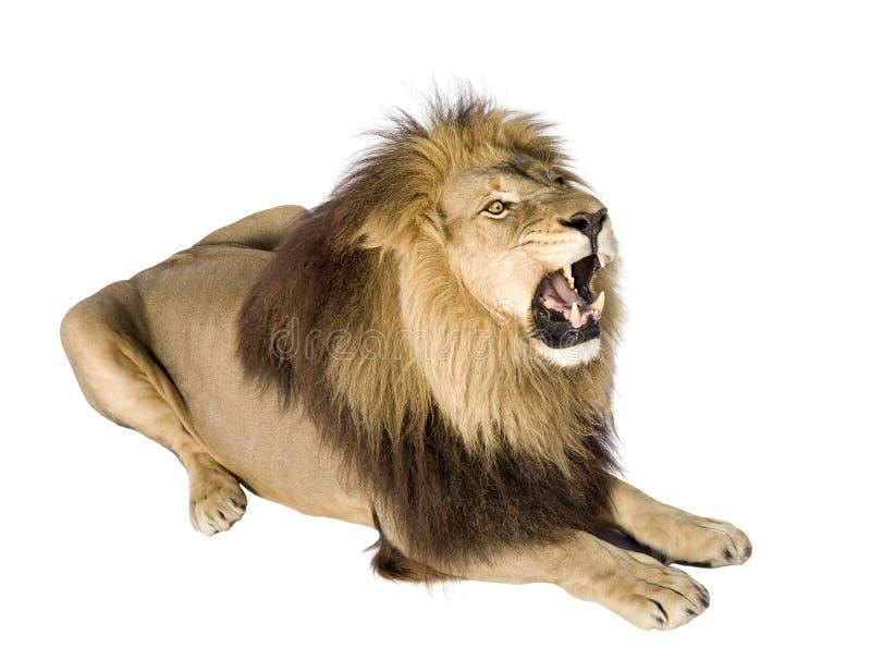 4 przyrodnich Leo lwa panthera rok obraz royalty free