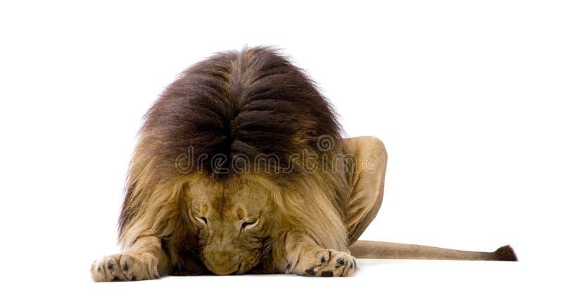 4 przyrodnich Leo lwa panthera rok zdjęcia royalty free