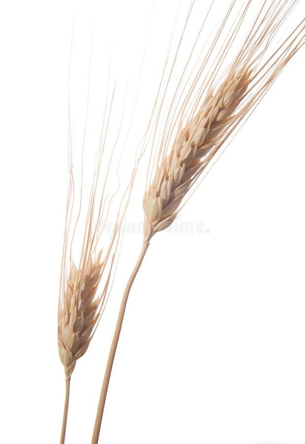 4 pszenicy obrazy royalty free
